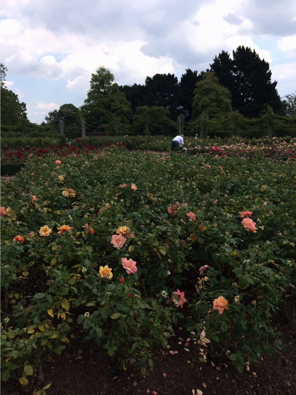 The rose garden goes on and on, organized by variety and color. Spectacular!