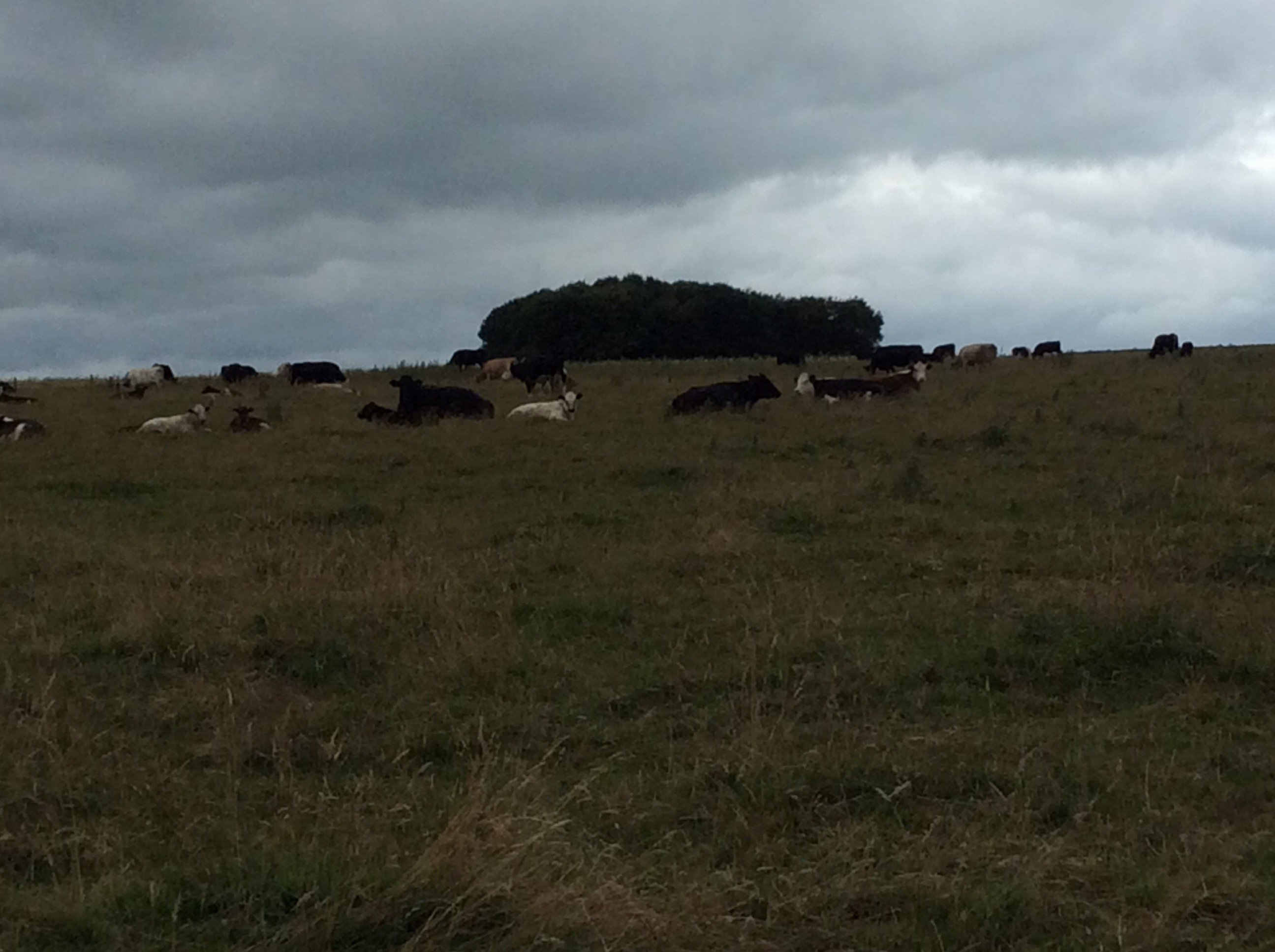 The lovely  countryside around Haddon. Cows and sheep graze everywhere. It's right out of a Jane Austen novel.l
