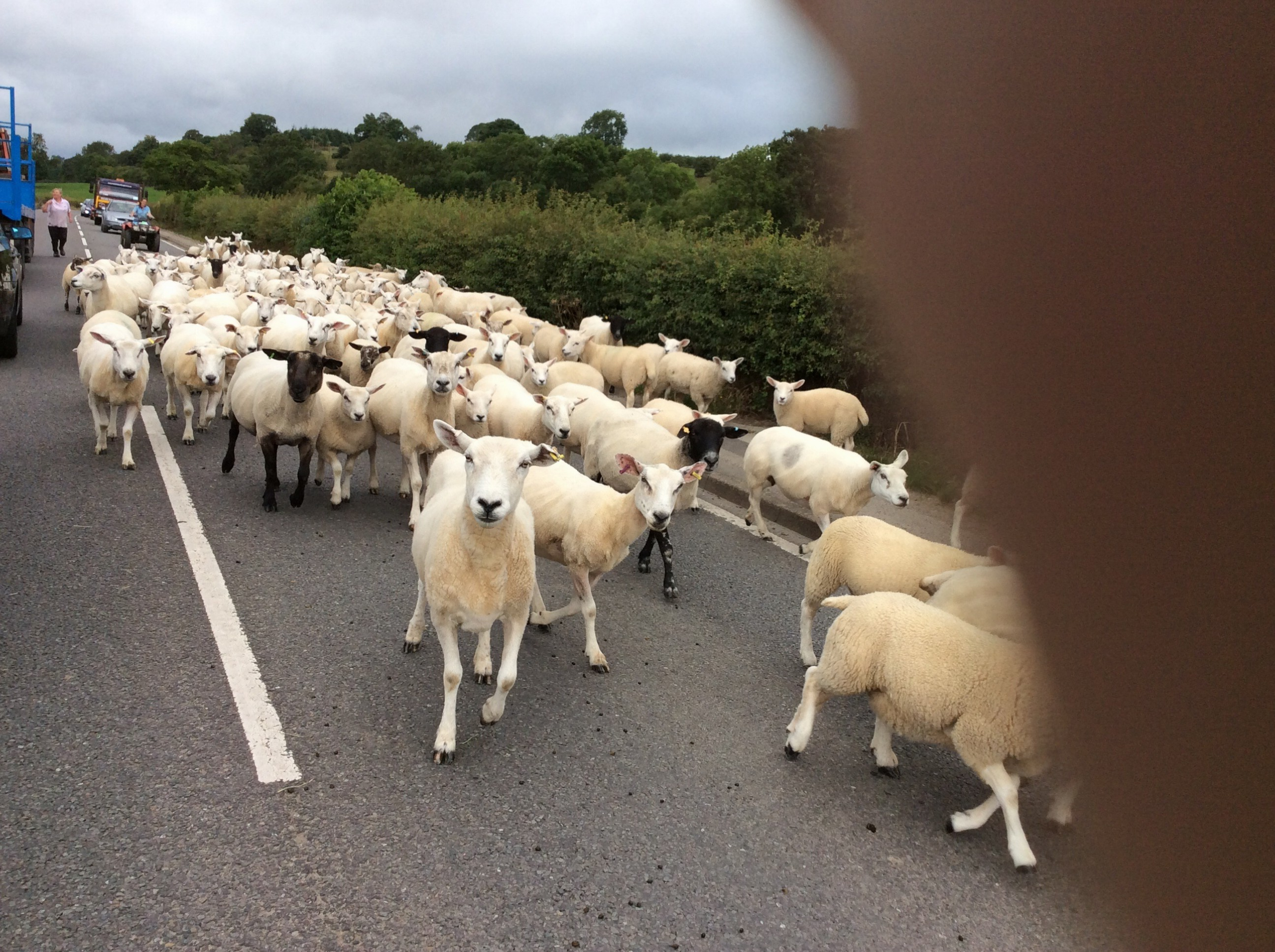 Here's looking at you kid! Sheep take over the road. Sorry about my thumb in the picture!@